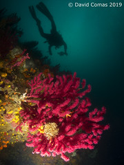 Roses - Cap Norfeu (CATDvd) Tags: canonpowershots120 fotosub underwaterphotography june2019 catdvd davidcomas httpwwwdavidcomasnet httpwwwflickrcomphotoscatdvd catalonia catalunya parcnaturalcapdecreus roses capnorfeu cnidari cnidaria gorgonacea gorgònia gorgonian ventalldemar sunkentreasureaward twop ngc flickrtravelaward fins