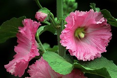 Holly Hock (Hannah 0013) Tags: hollyhock flower canon coth5 rose contact ngc