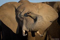 Oh my gosh, not 44°C again ?!!! (leendert3) Tags: leonmolenaar southafrica krugernationalpark wildlife wilderness wildanimal nature naturereserve naturalhabitat mammal africanelephant ngc npc