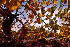 Aires de otoño (diegocarreraperez) Tags: viña vino wine uva grape orange naranja rojo red yellow amarillo fall otoño autumn leaf hoja color elbierzo bierzo pieros cacabelos viñedo vendimia natural wild naturaleza nature