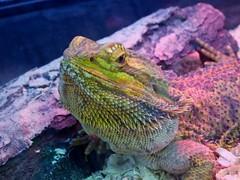Bearded Dragon (mikecogh) Tags: wayville royalshow beardeddragon lizard reptile prickly spikes