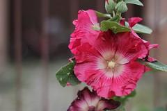 5873 (karel.seidl) Tags: sléz malva maw mallow flower purple five petals dew moisture blossom bud flickr20stars
