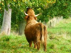 Highland cow (Jackal1) Tags: scotland highlandcow nature animal hairy horns