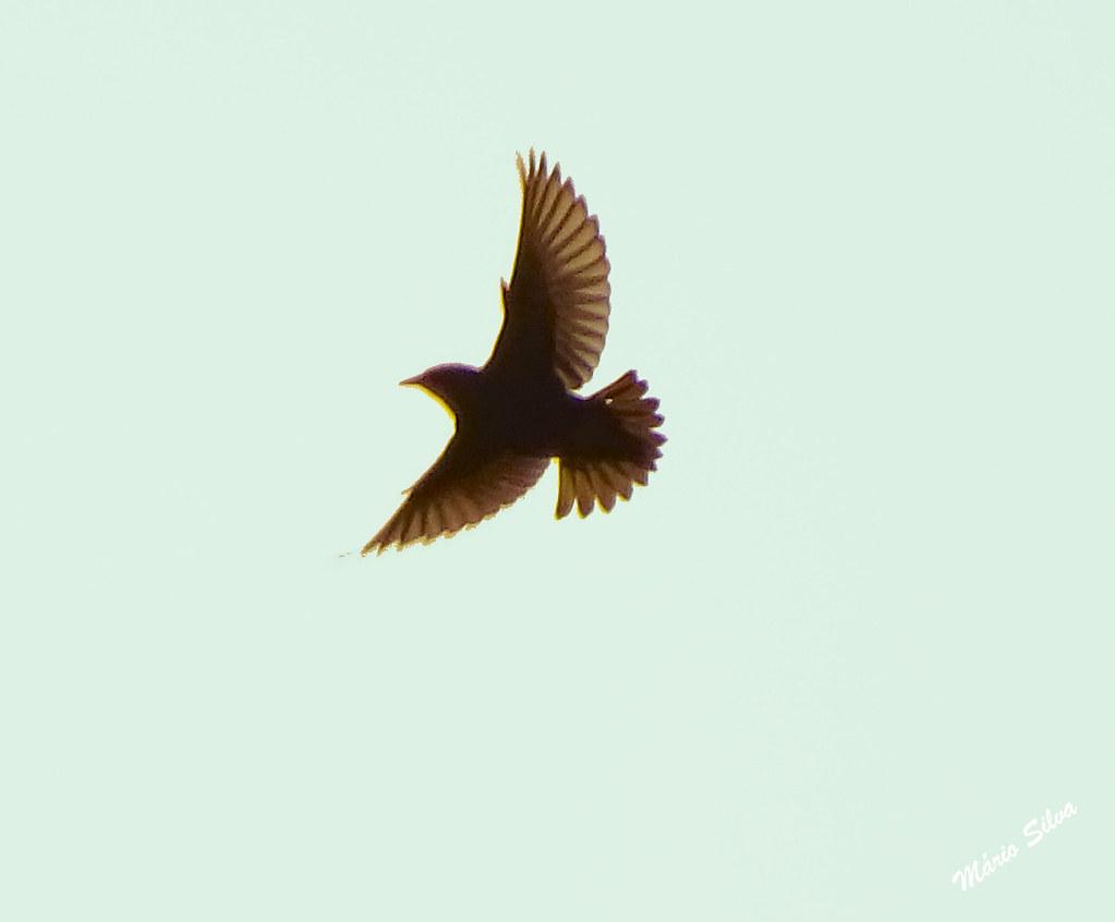 Águas Frias (Chaves) - ... ave em pleno voo ...