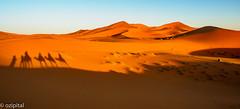 Shadows of Mythologies (ozipital) Tags: morocco desert camels shadows
