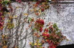 Selbstkletternde Jungfernrebe (Parthenocissus quinquefolia) im Herbst an der Mühle in Wohlde; Stapelholm (3) (Chironius) Tags: stapelholm schleswigholstein deutschland germany allemagne alemania germania германия niemcy wohlde frucht fruit frutta owoc fruta фрукты frukt meyve buah herbst herfst autumn autunno efteråret otoño höst jesień осень rosids vitales weinrebenartige vitaceae weinrebengewächse rot laub
