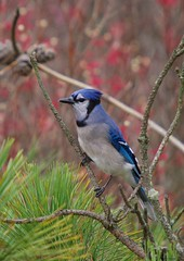 pine jay (S. J. Coates Images) Tags: lemoinepointconservationarea lemoinepoint kingston fall autumn bluejay songbird bird