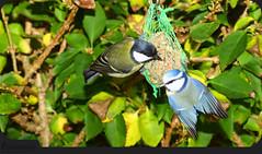 Black & blue (Klaus • back (sometimes) •) Tags: greattit kohlmeise parusmajor musvit carbonerocomún mésangecharbonnière cinciallegra koolmees chapimreal kjøttmeis kjøtmeis talitiainen talgoxe больша́ясини́ца больша́к cyanistescaeruleus paruscaeruleus blaumeise eurasianbluetit tit chickadee titmouse tits chickadees titmice blåmejse herrerillocomún mésangebleue cinciarella pimpelmees blåmeis blåmes アオガラ 蓝山雀 meise tetta teta mésange mees синица gcioch tissi baştankara αιγίθαλοσ buah dada сиса ngựanhỏ שד sjenica синигер シジュウカラ चूची 山雀 حلمةالثدي vögel birds uccelli aves oiseaux gevogelte pássaros 鳥類 птицы éin fåglar linnut kuşlar fugler fugle burung chim fuglar