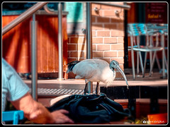 Table for One, Please (Bob Shrader) Tags: olympuspenf olympusm12100mmf40 100mm f5 1320sec 200iso raw microfourthirds mft m43 mirrorless animals bird table people tourists chair oceania australia newsouthwales sydney therocks clothing jacket penf zoomlens olympusmzuikodigitaled12100mmf40ispro mzuiko12100mmf40ispro olympusmzd12100mmf40ispro exterior outdoors telephoto affinityphoto tonemapping on1 photoraw2020 preset colortwist ct8 style photoborder photoedge photoframe postprocessing