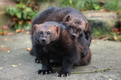 brothers - we can also be loving (gaby.harig) Tags: 198619 natur tiere säugetiere vielfrase wildpark lüneburger heide