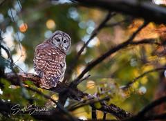 Bokeh Barred... (DTT67) Tags: barredowl owl bokeh birds 14xtciii 500mmii canon5dmkiv canon wildlife nature