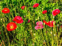 The Group (davidseibold) Tags: america bakersfield california cornpoppy jfflickr kerncounty photosbydavid plant platoct postedonflickr unitedstates usa wildflower
