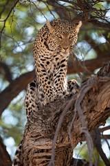 Leopard Queen (Glatz Nature Photography) Tags: africa animal botswana glatznaturephotography khwaicamp nature nikond850 wildanimal wildlife leopard africanleopard pantherapardus eyecontact bigcats predator intensity okavangodelta