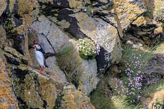 IJsland | Oraefi (Cheetah_flicks) Tags: europa europe ijsland iceland oraefi animals atlanticpuffin bird destinations dieren nature natuur papegaaiduiker puffin travel trips vogel vrijenatuur wildlife