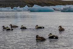 IJsland | Jokulsarlon (Cheetah_flicks) Tags: commoneider eidereend europa europe ijsland iceland jokulsarlon jökulsárlón animals bird destinations dieren duck eend nature natuur travel trips vogel vrijenatuur wildlife