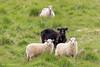 IJsland | Hornafirdi (Cheetah_flicks) Tags: europa europe hornafirdi ijsland iceland instagram animals destinations dieren fotoprojectjes hoefdier hoofedanimal nature natuur projects schaap sheep travel trips vrijenatuur wildlife