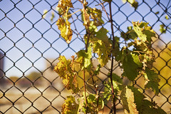Spring Green (jkotrub) Tags: color colorful coloring2019 colour fall autumn outdoors beauty golden goldenhour outside vines fence wall decay abandoned street streetphotography road alone urbex look lookaroundgreengrowspring green yellow