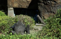 Awareness is the better part of valor (MoparMadman63) Tags: gorilla ape young two zoo dallaszoo city texas wildlife environment watchful