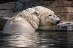Resting Her Head (helenehoffman) Tags: arctic bear wildlife conservationstatusvulnerable mammal sandiegozoo polarbearplunge tatqiq polarbear ursidae ursusmaritimus animal