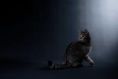 'The Doorbell' (Jonathan Casey) Tags: cat tabby british shorthair studio strobes nikon d850 sigma 40mm art f14 jonathan casey photography pet
