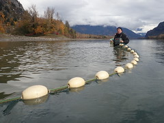 Dr Rick Taylor pulls a seine in Fraser River at Skawahlook