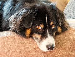 Down Time (jayvan) Tags: dash aussie australianshepherd dog sofa resting content curious portland oregon home twtme