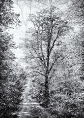 Shinrin-yoku... (Ody on the mount) Tags: abstrakt anlässe blackwhite bäume canon g7xii kunst landschaft pflanzen powershot schönbuch wald wanderung abstract art bw blackandwhite fineart forest landscape miraclesofcreation monochrome multiexposure sw schwarzweis trees woods