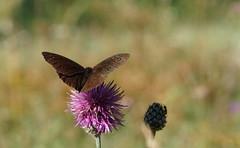 La Grande Coronide (passionpapillon) Tags: macro papillon butterfly insecte nature fleur bokeh color passionpapillon 2019 lagrandecoronide satyrusferula sonyilce6300 fe90mmf28 macrogoss ngc npc