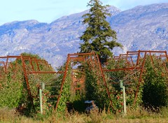 The Apples are Wired. (Goose Spittin' Image Photography) Tags: summerland okanagan bc autumn apple orchard high density rows trout creek tunnels