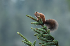 Squirrel (Guido de Kleijn) Tags: eekhoorn redsquirrel tonbach schwarzwald murgtal blackforest nikond500 nikon200500f56