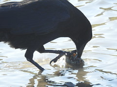 carrion crow with food (BSCG (Badenoch and Strathspey Conservation Group)) Tags: moray bird october c corvus feeding