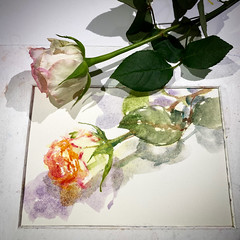 Day 1540.  The #rose #painting for today. #watercolour #watercolourakolamble #sketching #stilllife #flower #art #fabrianoartistico #hotpress #paper #dailyproject (akolamble) Tags: rose painting watercolour watercolourakolamble sketching stilllife flower art fabrianoartistico hotpress paper dailyproject