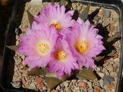 Ariocarpus confusus (Resenter89) Tags: cactus piante grasse succulente cacti kakteen cactaceae plant ariocarpus bloom blooming flower flowers mineral soil mix mexico confusus aramberri nuevo leon pink