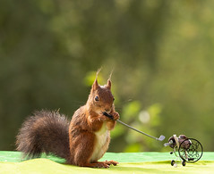 red squirrel holding a Golf Club (Geert Weggen) Tags: golf golfcourse vacations golfclub grass puttinggolf sport hole nonurbanscene summer touristresort weekendactivities accuracy activity colorimage day flag golfflag hill hobbies horizonoverland horizontal landscaped multicolored nature nopeople outdoors photography relaxation scenicsnature sportsvenue takingashotsport redsquirrel animalwildlife animalsinthewild cute feeding fifecounty squirrel rodent animal bispgården jämtland sweden ragunda geert weggen