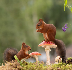 red squirrels standing with and on a mushroom (Geert Weggen) Tags: animal autumn berry bright bud cheerful closeup cute daisy flower groundculinary horizontal humor land lightnaturalphenomenon mammal moss multicolored mushroom nature perennial photography plant reaching red rodent springtime square squirrel summer sweden toadstool fall young vertical poppy pair couple together bispgården jämtland ragunda geert weggen