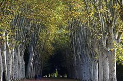 """""""La promenade, ce n'est pas du tourisme. C'est le plaisir de marcher, tranquillement, au gré de ses envies, sans objectif précis. (Jirô Taniguchi) (Philippe Haumesser (+ 8000 000 view)) Tags: paysage paysages landscape landscapes arbre arbres tree trees allée alley schoppenwihr personnes peoples alsace elsass france hautrhin 68 nikond7000 nikon d7000 reflex 2019 llva"""