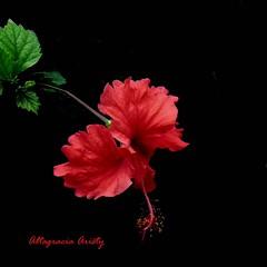 Hibisco/Hibiscus/Cayena (Altagracia Aristy Sánchez) Tags: hibisco hibiscus cayena quisqueya laromana