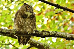 087 (3) (WS) Before the Snooze (srypstra) Tags: reaycreekpark sherirypstra greathornedowl owl autumn fall