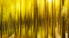 California Gold (Steve Corey) Tags: easternsierranevada ca fall autumn trees icm leaves californiagold stevecorey