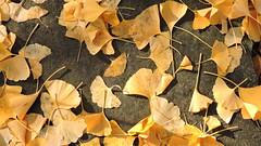 2019-10-26 Autumn with Gingko 1 (beranekp) Tags: czech teplice teplitz botanik botany botanic herbarium herbary herbář garden garten ginkgo autumn herb
