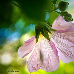 Sauterelle jouant à cache-cache sur une fleur de rose trémière (didier95) Tags: sauterelle insecte macro rosetremiere fleur fleurrose transparence bokeh