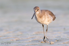 Willet (nate.arnold) Tags: willet wildlife wildlifephotography wings water waterbird wadingbird wetland waves nature naturephotography natearnoldphotography nikond500 d500 nikon birdphotography bird birding birds beach birdwalk florida floridawildlife floridanature fortmyers feathers floridastateparks fortmyersbeach loverskey loverskeystatepark keepflwild