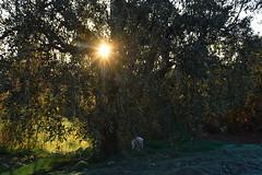 Temps de collir les olives, el Terme, Torrelles de Foix, Alt Penedès. (Angela Llop) Tags: catalonia spain penedes barcelona sunset olivetree