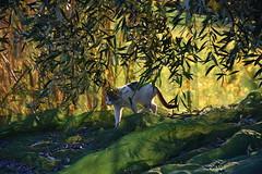 Temps de collir les olives, el Terme, Torrelles de Foix, Alt Penedès. (Angela Llop) Tags: cat catalonia spain penedes europe barcelona olivetree