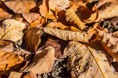 Sprinkler Spit (davidseibold) Tags: america bakersfield california canonrebelt3i freshwater jfflickr kerncounty leaf nature photosbydavid platoct postedonflickr unitedstates usa water