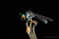 Robber Fly (Oidardis undescribed sp.) (jgruber111) Tags: diptera asilidae laphriinae atomosiini macro insect robberfly entomology fincalaspiedras oidardis