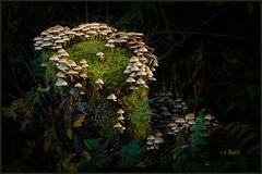 Elf Dance Platform (Maclobster) Tags: mushrooms moss stump golden ears park off camera flash