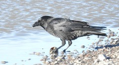 carrion crow with food (BSCG (Badenoch and Strathspey Conservation Group)) Tags: moray bird october feeding corvus c