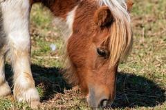 Pony (*Millie*) Tags: pony horse little animal farm grazing eating grass shadow patchesfamilycreamery lebanonpennsylvania pettingzoo canoneosrebelt6i ef70300mmf456isiiusm milliecruz