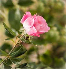 October Rose (mahar15) Tags: rose plant singlerose flowers nature flower outdoors bloom pinkrose onerose